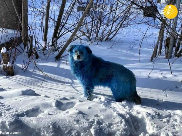 (عکس) چرا این سگ ها آبی رنگ شدند!